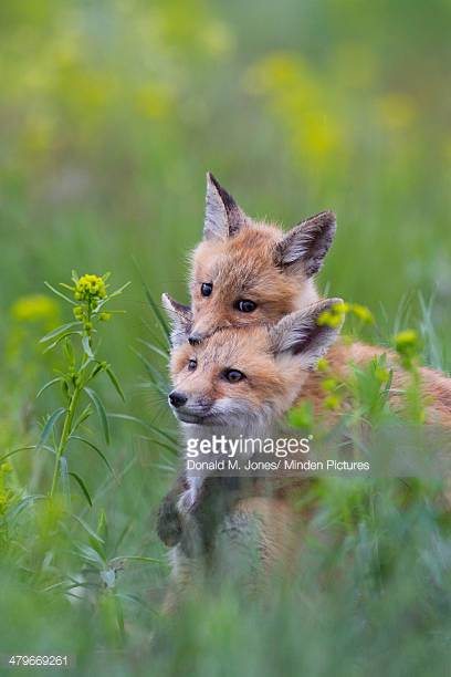 red-fox-pups-playing-mission-valley-west