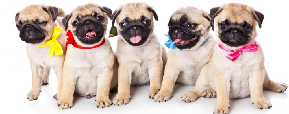 Image result for pug puppies