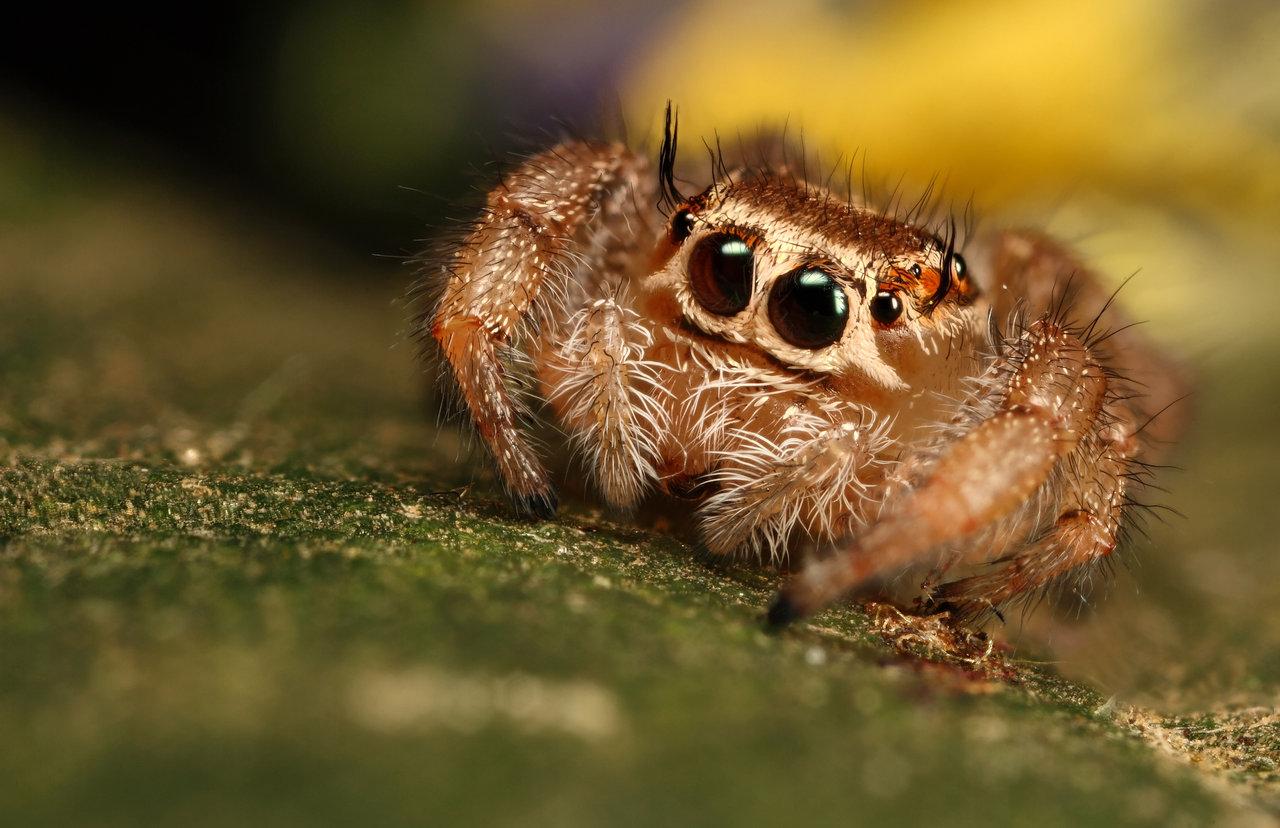 jumping_spider_10_by_macrojunkie.jpg