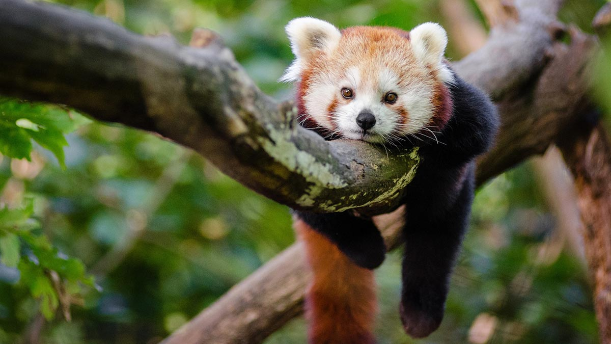 Image result for baby red pandas