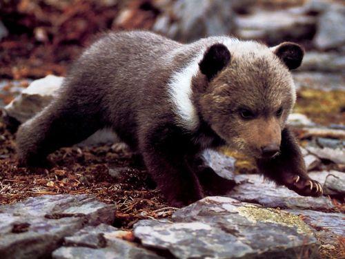 baby-bear.jpg.7fac662d2c70ed0bfabdc71a37f1eb8c.jpg