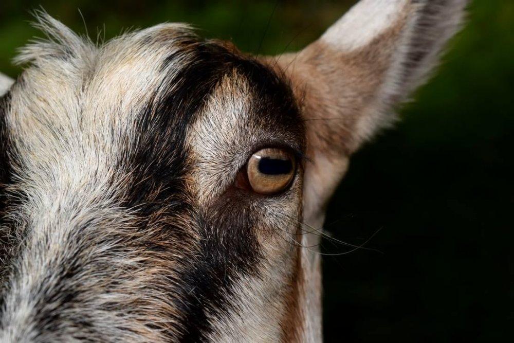 goat_close_up_by_davidbillups-dacyqw2.thumb.jpg.9b5a6f87092245807a1300cc599a5a5e.jpg