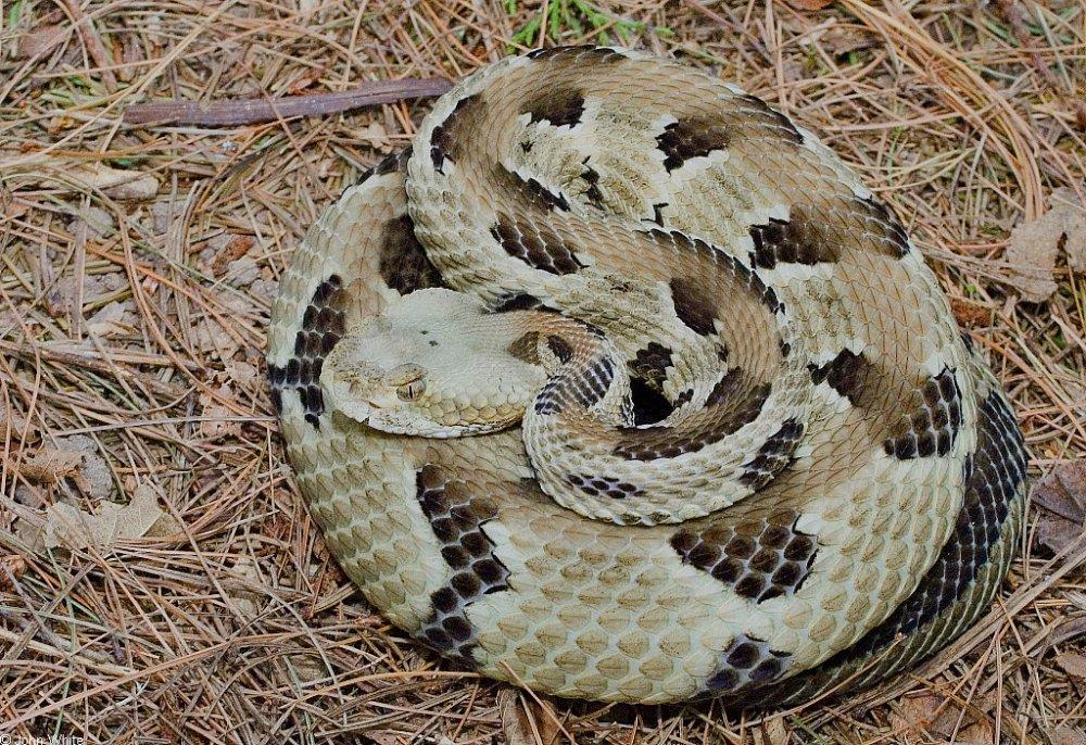 sp_timberrattlesnake004.thumb.jpg.bb117eb76e3c57eb6325ee049cf0f3a0.jpg