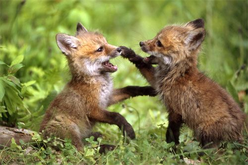 cbebf5295cfdef45f6bf550d1c78f401--fox-baby-baby-foxes.jpg.8a21fd89f2b98e559614766d8d9febf3.jpg