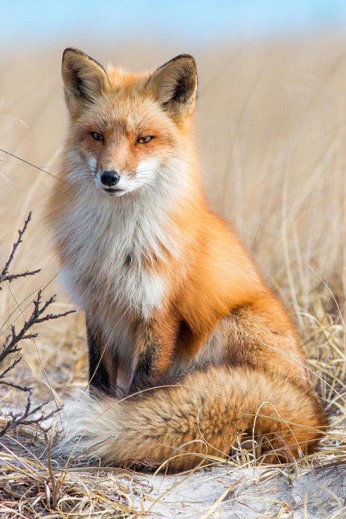 red-fox-portrait-nick-jaramillo.thumb.jpg.a5e461d52f92b0c383fc7bf2a52bdcbb.jpg