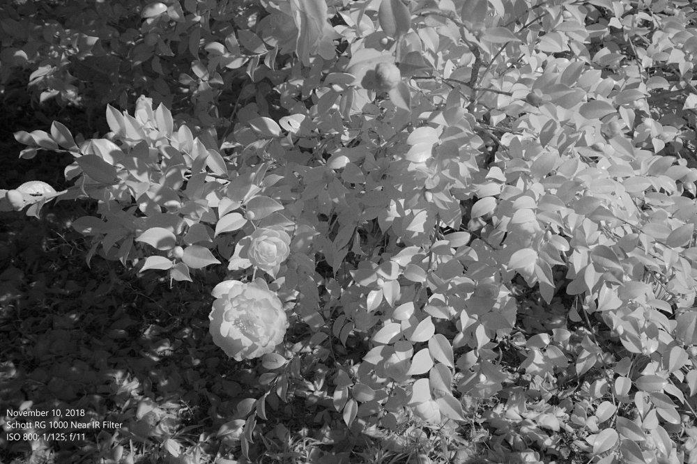 Flower_11-10-2018_NIR 2.jpg