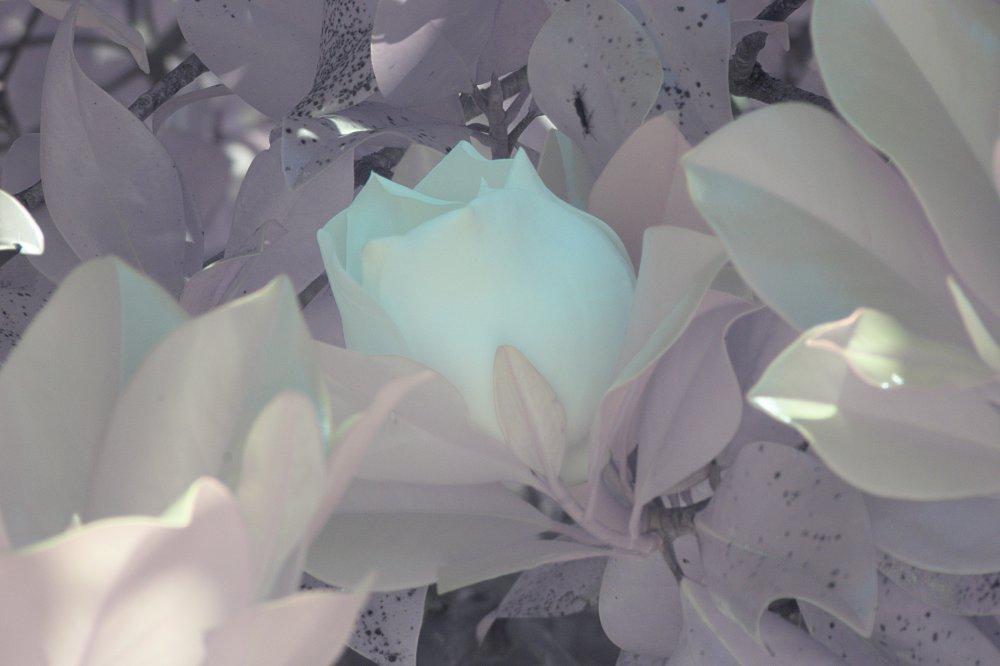 Magnolia NIRVis 3.jpg
