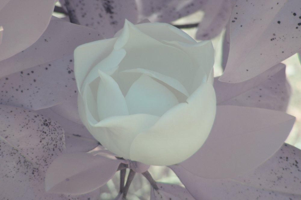Magnolia NIRVis 1.jpg