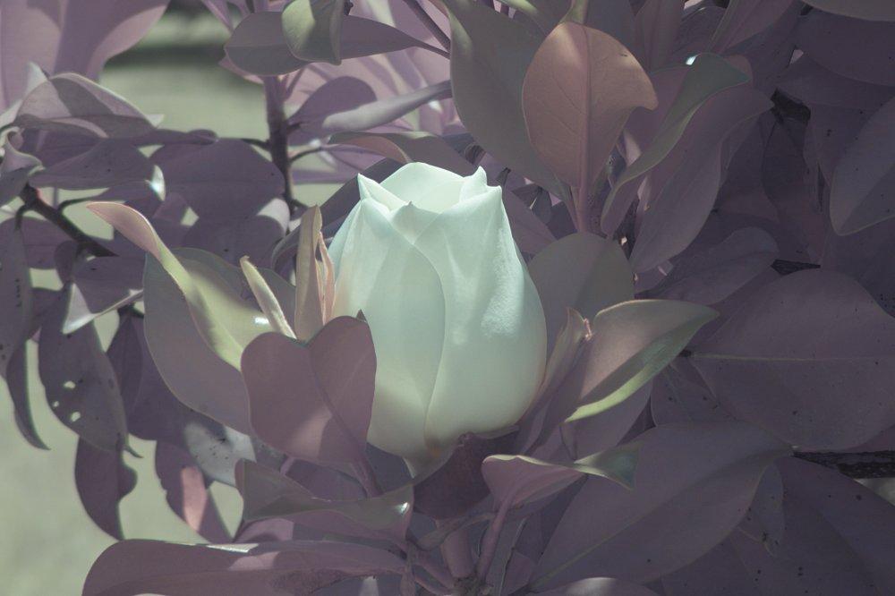 Magnolia NIRVis 2.jpg