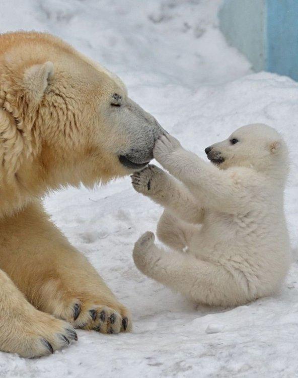 Polar bear boop.jpg